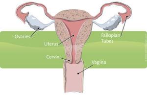 female_anatomy_395x255